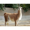 An irritated Llama, San Diego Zoo