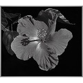 hibiscus silver light