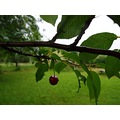 cherry fruit rain summer Bohemia