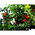 orange oranges tree