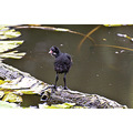 Moorhen chick Please view original