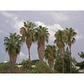 antalya side palm turkey tree