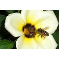 bee flower white padlex