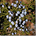 berries cedar blue nature