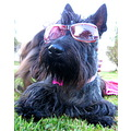 reflection dog sunglasses