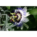 passion's flower