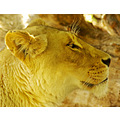 animal mammal nature lioness lion cat feline wildlife