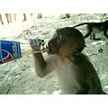 monkey pepsi animal thailand drink thirsty