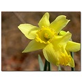 daffodil flower garden yellow
