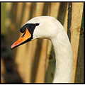 bird mute swan portrait nature