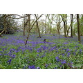 Outwoods Leicestershire Bluebells