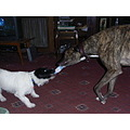 Digby having a tug of war with my brothers greyhound Oscar