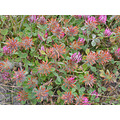 oakland park serpentine nature serpentinefph wildflowers clover pink