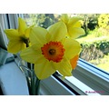 flowers yellow spring daffodils