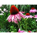 echinacea bloom blossom posy flower herbs herbal medicine healing plant