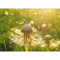 dandelion seed dandelionseed macro sunset backlight