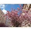 spring tree blossom Prague bohemia