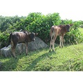cows calves cattle