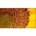 saphira sunflower bee sunflower and bee