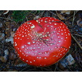 fly agaric red and white spotted fungus mushroom forest woodland