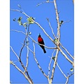 bird red and black redand