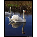nature bird swan muteswan feathers carlsbirdclub