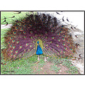 peacock westerncape