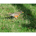 "American Robin (Turdus migratorius)  - not a ""true"" Robin, but a member of the Thrush family........"