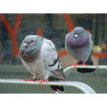 Peters puffy pigeon picture.