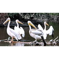 Pelican white lake