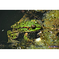 frog animal water river summer Pleven nikon sigma