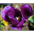 stlouis missouri us usa landscape plants flower macro tulip purple bh 2008