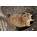 animals critters prairiedogs assiniboinepark winnipeg canada