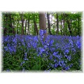 Bluebells again