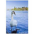 Natural History Wildlife Swan Lake Spideyj