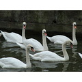 group of swans lincoln uk 1