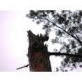 woodpecker bird nature pine tree latvia oakslat