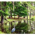 Great Blue Heron water lagoon