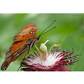 butterfly bug insect macro passion flower