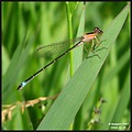 Another damselfly, different color...