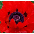 poppy papaver bloom blossom flower macro valerius
