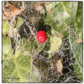 berry caught in spiders web