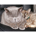 british shorthair burmese cats felines animals pets family