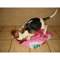 beagle dog snoopy pet animal domestic home friendly smile happy cheerful fur