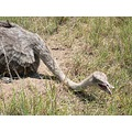 Wildlife Animals Ostrich
