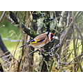 goldfinch gardenbird bird garden feeder stornoway scotland
