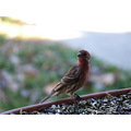 purple finch birds
