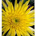 yellow burst spider mum