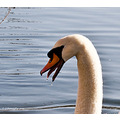 Swan please enlarge