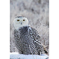 SnowyOwl Snowy ShortEared Bald Eagle Boundary Delta BC Canada Birds